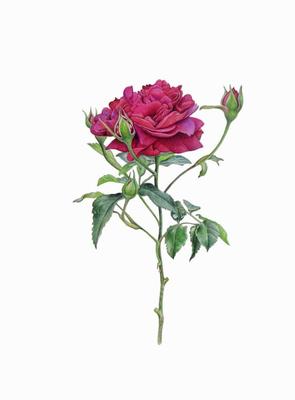 David Austin 'William Shakespeare' Rose
