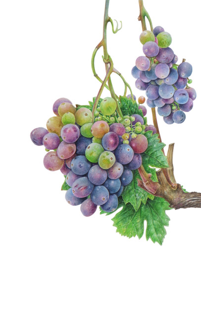 "Grape vine ""Vitis vinifera"""