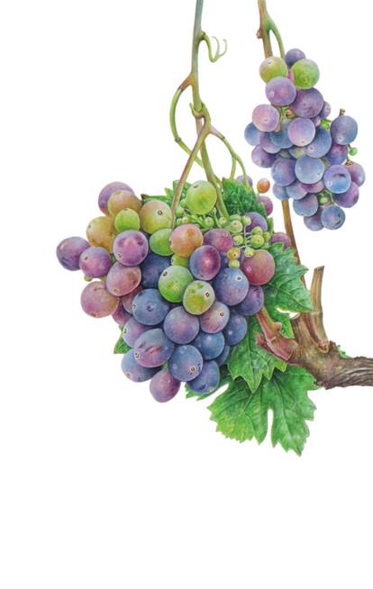 """Grape vine """"Vitis vinifera"""""""