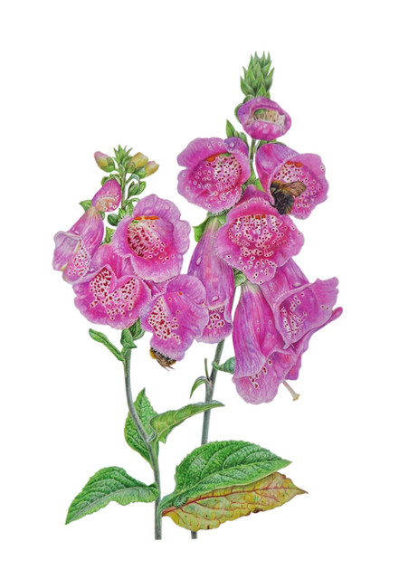 "Foxglove "" Digitalis Purpurea"""