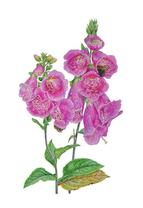 """Foxglove """" Digitalis Purpurea"""""""