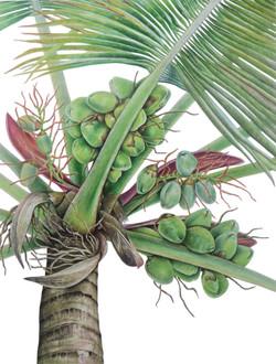 Coconut Tree _Cocos nucifera_