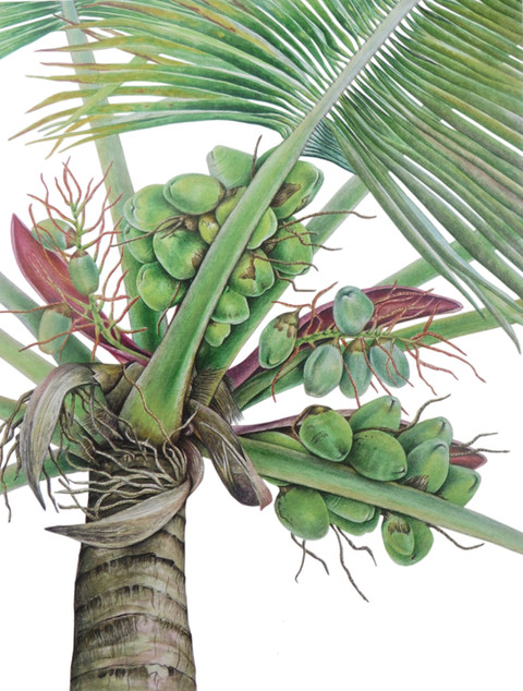 "Coconut Tree ""Cocos nucifera"""