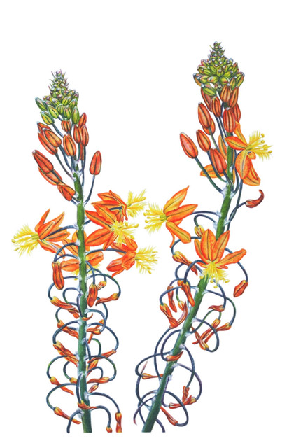 Bulbine Caulescens