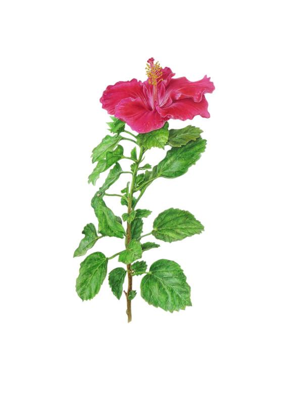Hibiscus 'Rosa Sinensis'