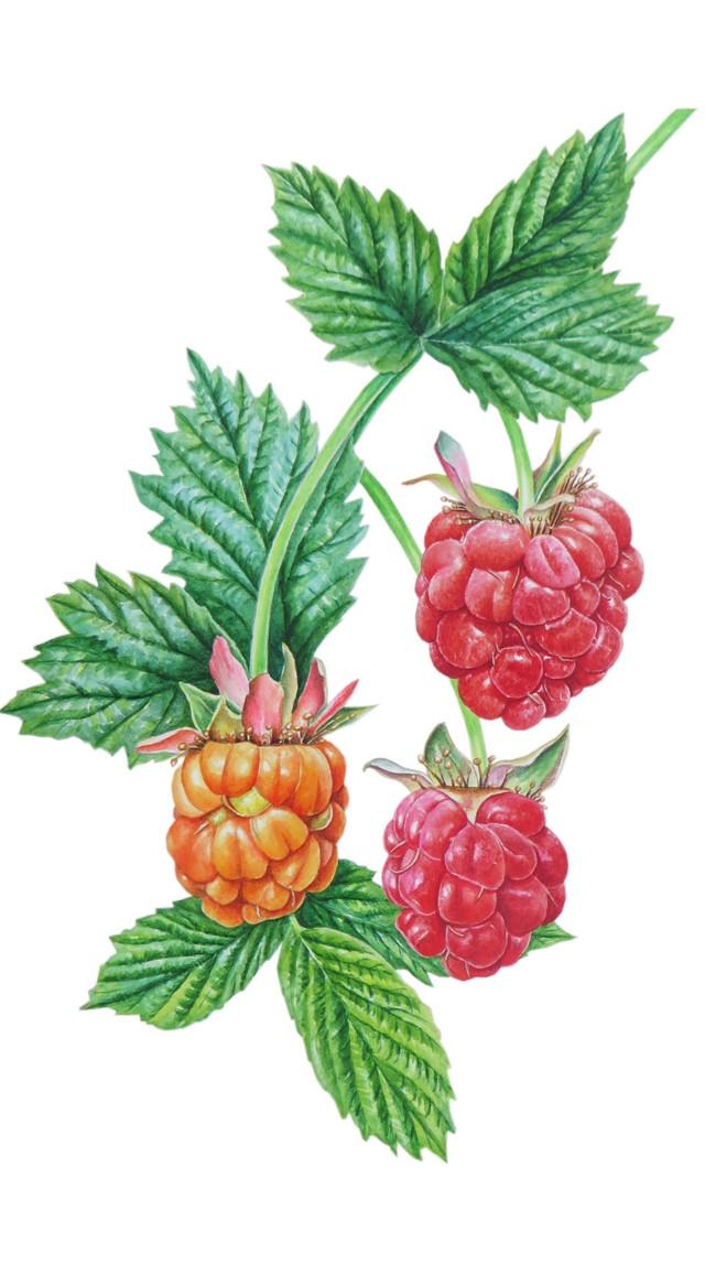 Raspberry 'Rubus idaeus'