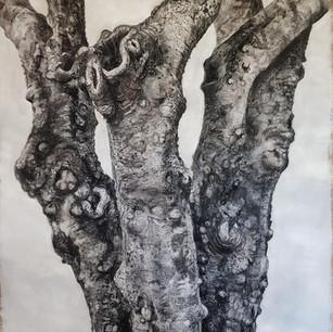 Scars of a Survivor - Street Tree Clayfield