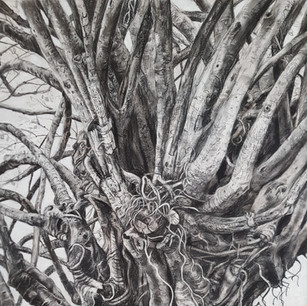 Fig Tree Drawing 2, Albion