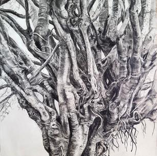Fig Tree Drawing 4 - Tendrils