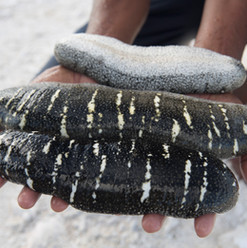 Live Sea Cucumbers