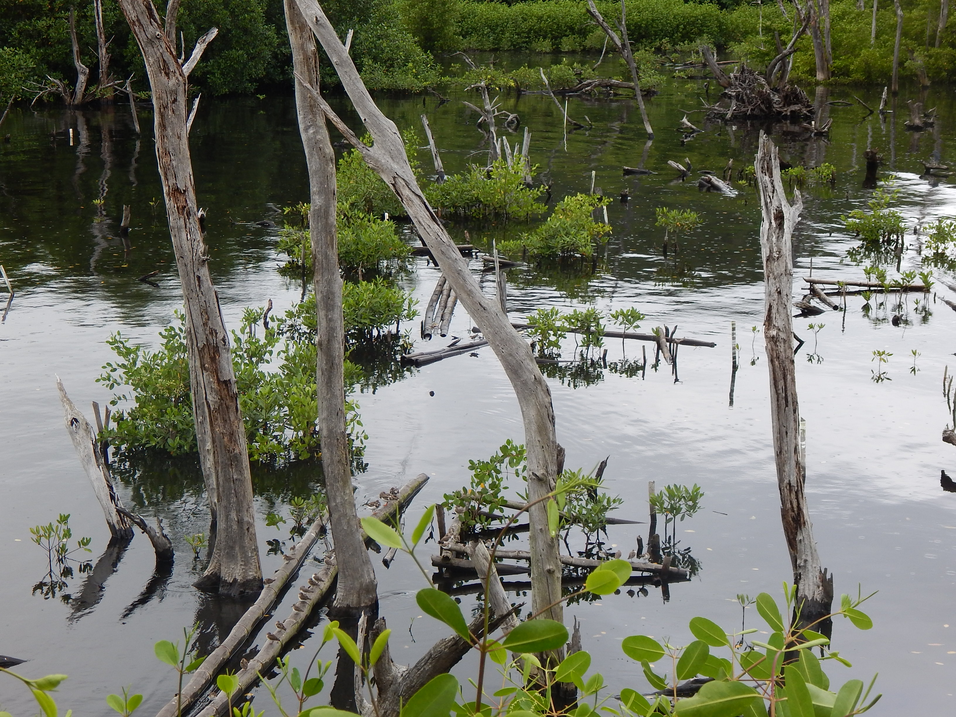Mangrove growth after two (2) years