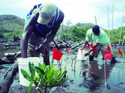 Initial mangrove planting efforts