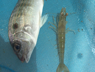 "Snook Season is Here !!! ""WE HAVE FEISTY PIN FISH"""