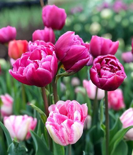 Spring Tulips Flower CSA Subscription