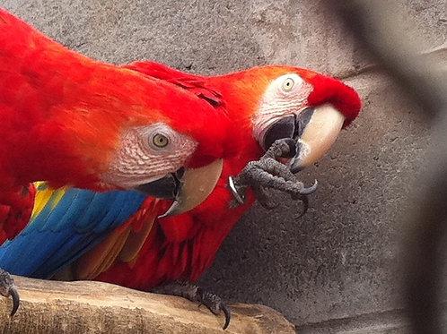 SISFAUNA regularização de aves IBAMA