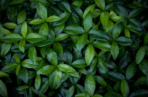 perinwinkle leaves