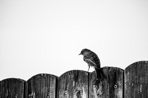 sparrow on a fence