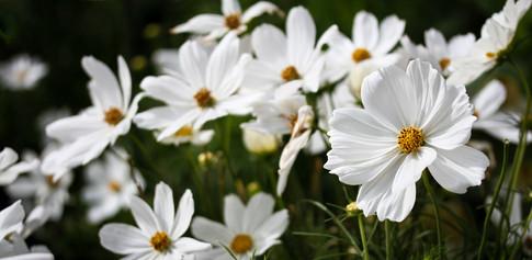 garden cosmos flowers
