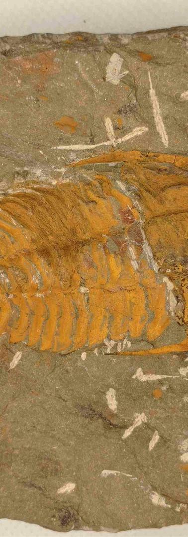 REF40. Myopsolenus sp.  97€.