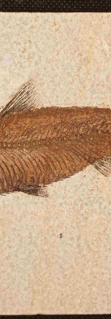 REF37. Knightia  eocaena   RESERVED