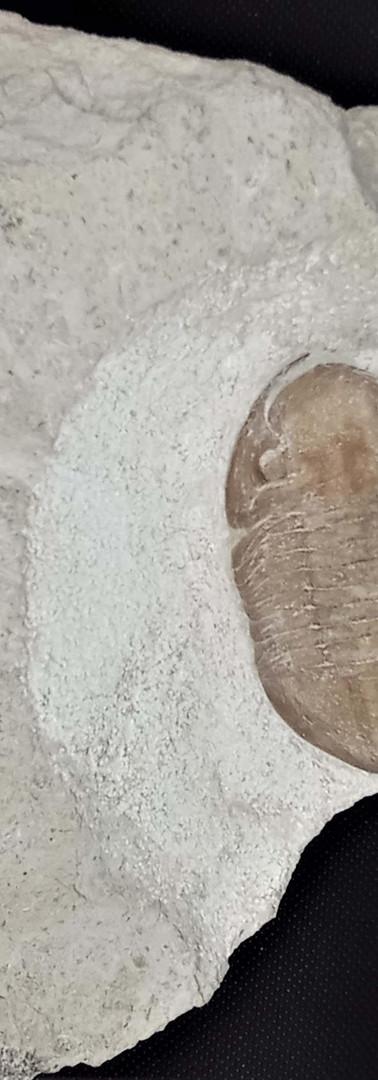 REF38 . Asaphus platyurus.   285 €.