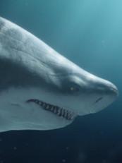 FiberOne - Sharks