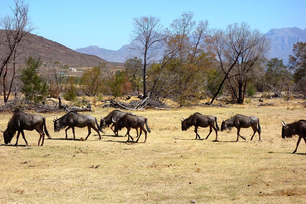 Beste Safari Südafrika, wilde Tiere Südafrika, Gnus Südafrika