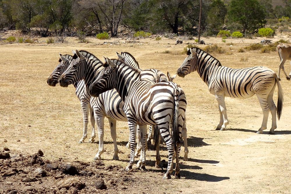 Zebras Südafrika, Tierschutz Südafrika, Krüger Nationalpark, Addo Elephant Park, Pilanesberg Nationalpark