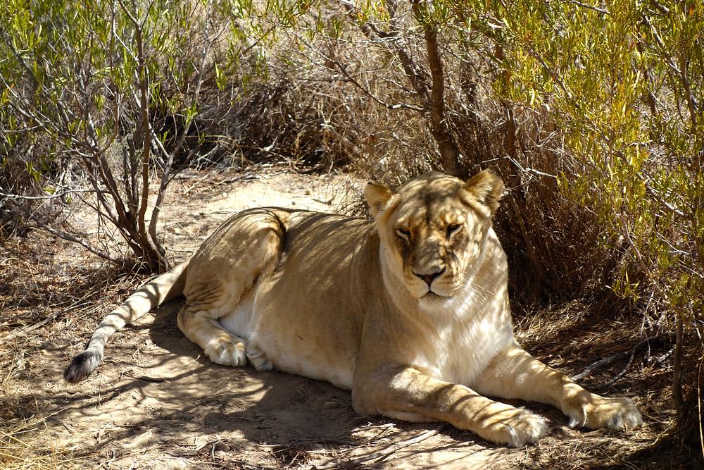 Löwen Südafrika, Löwen Kapstadt, Nationalpark Südafrika, beste Nationalpakrs Südafrikas