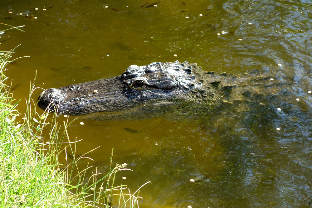 Everglades Florida, Airboat Everglades, Aligator Everglades
