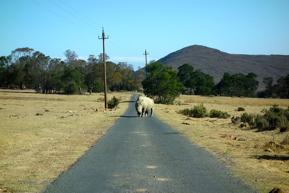 Wie gefährlich sind Nashörner?, Was tun bei Nashornattacke? Nashorn Südafrika