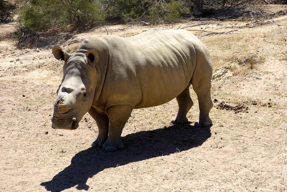Nashorn, Nashorn Jagd, Nashorn Wilderer, Nashorn Safari, Nashorn aus der Nähe, Nashorn ohne Horn, Nashorn Südafrika