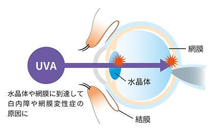 紫外線の話_眼球-2.jpg