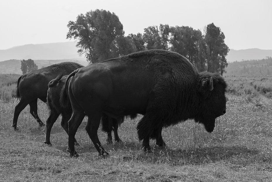 10 Buffalo.jpg