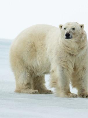 SVALBARD BEARS