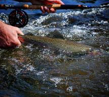 Willamson River Reband