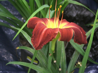 Daylilies attract dozens of people to the Hub City