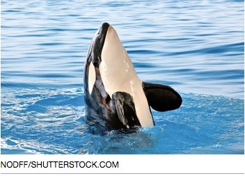 Orca Finale: Sea Mammals Freed from Showtime