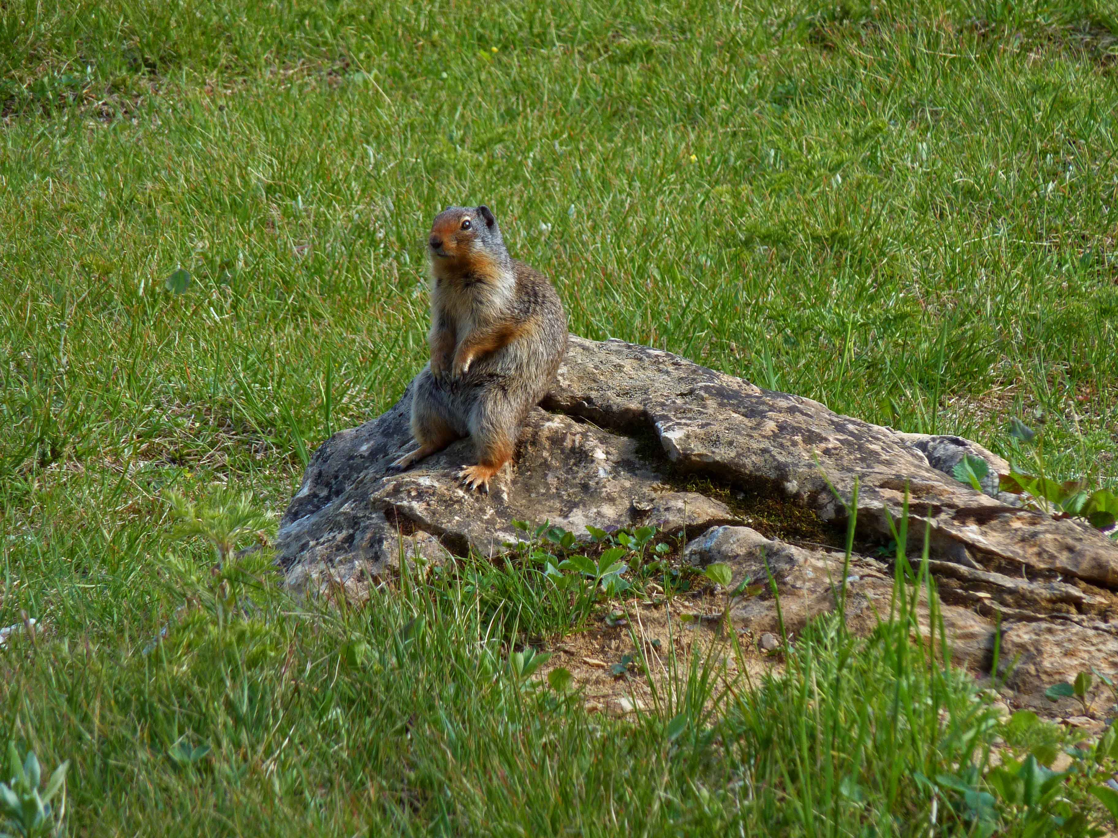 Ground squirrel, Banff guided hike