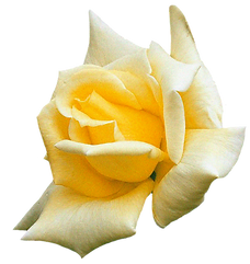 Rose_Yellow_edited.png
