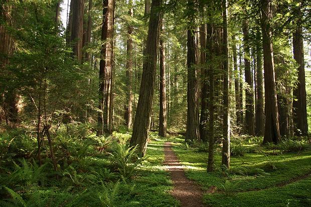 AveOfGiantsRedwoods.jpg