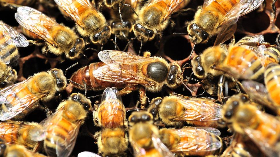 Italian Queen Bee