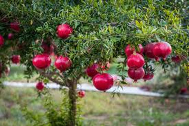Punica granatum - 'Wonderful' Pomegranate