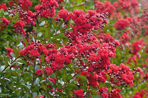 Lagerstroemia indica - Ruffled Red Magic