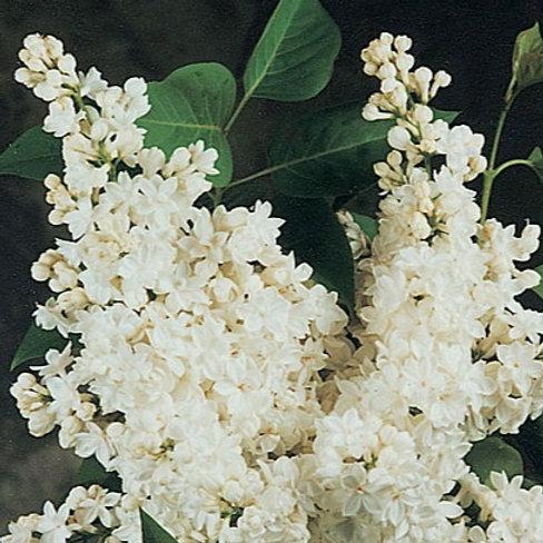 Syringa x  Hyacinthiflora - Cora Brandt