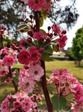 Malus yunnanensis - Wychwood Ruby