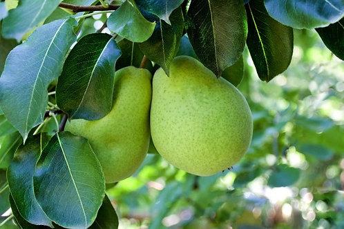 Pyrus communis - 'Packhams Triumph' Pear
