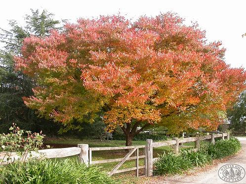 Zelkova serrata - Japanese Elm