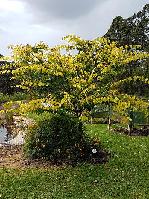 Zelkova serrata - Golden Flame Japanese Elm