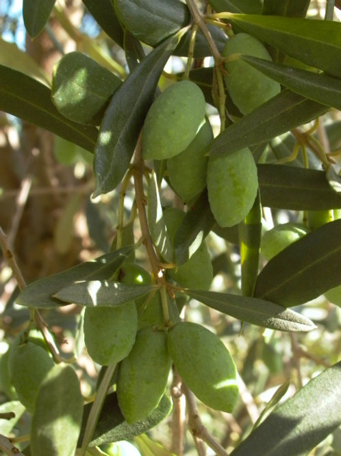 Olive europaea - Barnea
